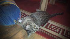Heute zeigen wir euch Schnucki beim spielen mit seinem Tunnel. Er hält sich wie immer für ein Raubtier und greift am Ende sogar mich an (~_~) viel Spaß beim ansehen (^_^)  Subscribe me to get every new video via mail and to support our project:  http://www.youtube.com/subscription_center?add_user=kaninchenfanlucky  #cats #cat #katzen #katze #neko #youtube