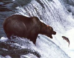 Fishing Bear...Eric Hinson.  I spent 4 days at Brooks Falls, Katmai, Alaska trying to get a similar shot.
