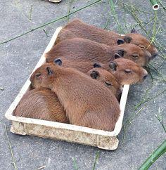Capybaras cuddling in a box