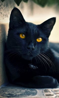 awesome black cat, love the color of the eyes! Pretty Cats, Beautiful Cats, Animals Beautiful, Most Beautiful Cat Breeds, Gorgeous Eyes, Black Cat Breeds, Animals And Pets, Cute Animals, Photo Chat