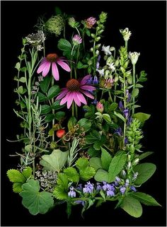 Edibles Page 3 - Scanner Photography By Ellen Hoverkamp Botanical Illustration, Botanical Prints, Flowers Nature, Wild Flowers, Belle Photo, Botany, Pretty Pictures, Flower Designs, Flower Art