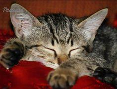 #catnap #turkishcats #kitten