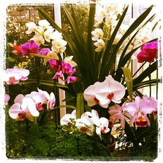 Orchids in bloom at Volunteer Park Conservatory. #seattle #travel #flowers