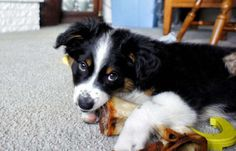 The Australian shepherd is a high-energy breed with a relatively unknown origin story prior to its appearance in the U.S. Known for its territorial and protective nature, this breed requires careful and active training.  - Understanding of new commands: 25 to 40 repetitions  - Obey first command: 50% of the time or better
