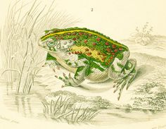 AUTHENTIC 1800s ENGRAVING  This print is taken from the Dictionnaire Universel d'Histoire Naturelle, a publication directed by the french naturalist Charles Henry Dessaline... #orbigny #original #amphibians #illustration #handcolored
