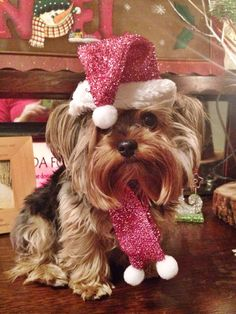 Sparkly Santa hat and scarf for dogs. Christmas Animals, Christmas Cats, Merry Christmas, Cute Puppies, Cute Dogs, Corgi Puppies, Yorky, Yorkie Puppy, Yorkie Hair