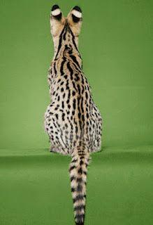 The beautiful markings of the Savannah Cat.