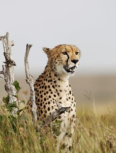 Malaika, Masai Mara, Kenya, July 2012