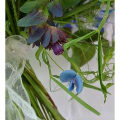 In the polytunnel the other day I came across some self-sown seedlings of lathyrus sativus romping away. If you've never grown Indian sweet pea I'd make this the year to rectify that. It may not have the fragrance of other sweet peas but it's turquoise. Yes turquoise! Be still my beating heart... #indiansweetpea #lathyrussativus #flowerstodiefor