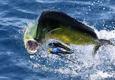 Panama Fishing Report - Bull Dorados! - January 4-6, 2013