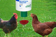 Rhode Island Red Chicken Using Automatic Chicken feeder Best Egg Laying Chickens, Types Of Chickens, Raising Backyard Chickens, Red Chicken, Small Chicken, Automatic Chicken Feeder, Leghorn Chickens, Rhode Island Red, Chicken Breeds
