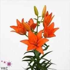 Lily-Orange-Ton - OneDrive