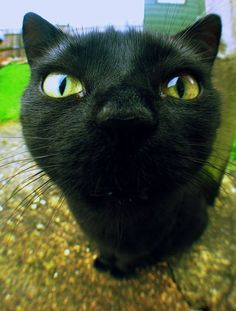 Cats don't have competition in the great animal kingdom and are great indoor pets for many reasons. A cat will bring joy to your household and also help you get I Love Cats, Cute Cats, Funny Cats, Funny Animals, Cute Animals, Baby Cats, Cats And Kittens, Noir Ebene, Gato Grande