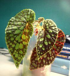 Begonia chlorosticta by Allegro con brio, via Flickr