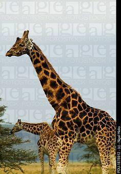 Rothchild´s Giraffes, Giraffa camelopardalis, Kenya.