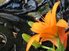 #Missouri Botanical Garden ©KibibiPhotography Missouri Botanical Garden, Botanical Gardens, Sacral Chakra, All Pictures, Bloom, Orange, Floral, Flowers, Plants