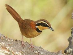 Foto tapaculo-de-colarinho (Melanopareia torquata) por Wagner Nogueira | Wiki Aves - A Enciclopédia das Aves do Brasil
