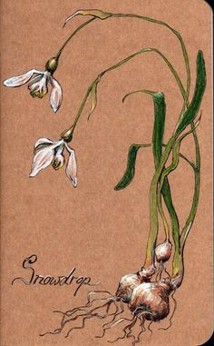 Pastel Drawing of Snowdrops