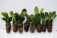 Details about U Pick Any 8 Christmas Cactus/Schlumbergera Plants 125 Varieties to Choose Christmas Cactus Plant, Easter Cactus, Cactus Flower, Cactus Art, Cactus Decor, Cactus House Plants, Garden Plants, Indoor Plants, Gardening
