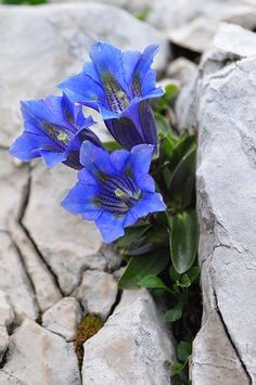 Enzian (German) or Gentian Rock Flowers, Exotic Flowers, Purple Flowers, Wild Flowers, Beautiful Flowers, Alpine Garden, Alpine Plants, Rock Plants, Alpine Flowers