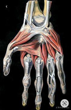 Hand Anatomy, Human Anatomy Art, Human Anatomy And Physiology, Anatomy Study, Body Anatomy, Anatomy Reference, Facial Anatomy, Anatomy Sketches, Anatomy Drawing