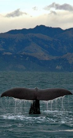 New Zealand Travel Inspiration - Whale Watching ~ Kaikoura, South Island, New Zealand Nz South Island, New Zealand South Island, Places To Travel, Places To See, Nature Sauvage, New Zealand Travel, Whale Watching, Travel Around, Travel Inspiration