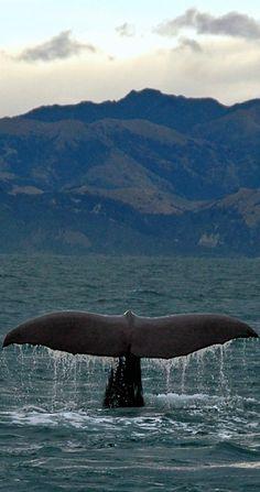 Whale Watching, Kaikoura, South Island, NZ