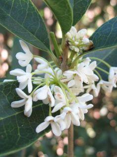 Osmanthus fragrans / Süße Duftblüte - 3-5m großer Strauch mit auffallend gelben / gelborangen Blüten, sehr wohlriechend. Tolle Kombination aus Optik und Duft für den Garten!