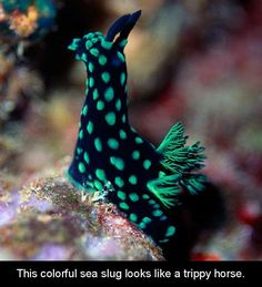 Check out this funky sea creature! It is a Nembrotha Cristata, a kind of sea slug that will grow only up to 6 cm inches) in length. Some may say it looks like the Alpaca of the Sea! Underwater Creatures, Underwater Life, Ocean Creatures, Strange Creatures, Pictures Of Sea Creatures, Salt Water Fish, Sea Snail, Sea Slug, Wale