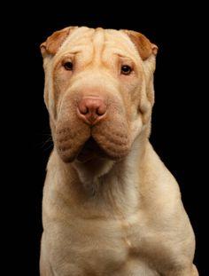 sharpei dog isolated on black background
