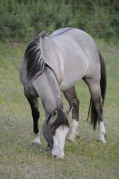 Grulla coloured horse. They have no white hairs in their coat and have primative markings, leg barring and dorsal stripe.
