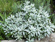 Artemisia ludoviciana 'Valerie Finnis' (Edelruit)  Het opvallendste kenmerk van Artemisia ludoviciana 'Valerie Finnis' is het prachtige grijze blad. Artemisia ludoviciana 'Valerie Finnis'. In de periode juni-juli verschijnen de gele bloemen in grijzige toortsen. De hoogte van Artemisia ludoviciana 'Valerie Finnis' bedraagt dan 70-80 cm. De standplaats dient zonnig te zijn.  Artemisia ludoviciana 'Valerie Finnis' kan woekeren met worteluitlopers.