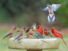 Birdbath Party--M House Finch, 2M,1F Northern Cardinal , M Yellow Rumped Warbler , 2 Cedar Waxwing, aMockingbird and a Mourning Dove. Amazing that they'd be all together in the same place.