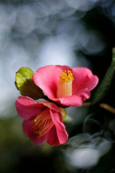 Tsubaki (Japanese Camellia) Love this flower. It's very popular in art,textiles, washi paper and Tsurushi Bina. They are so beautiful in bloom.