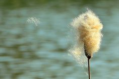 Bullrush Releases Its seeds To Germinate Nearby