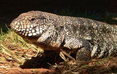 Tegu Lizards Heat Up During Mating Season -  http://bit.ly/1OPzwbx Information Society