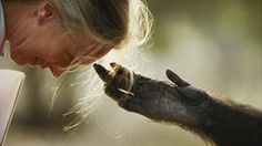 Find out why Sacred Grounds Organic is sponsoring DrJane Goodall's Australian tour. Image: National Geographic