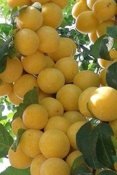 Fruit Plants, Fruit Garden, Edible Garden, Fruit Trees, Mango Fruit, Fruit And Veg, Fruits And Vegetables, Fresh Fruit, Pruning Raspberries