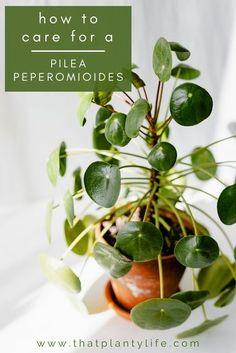 House Plants Decor, Plant Decor, Garden Plants, Garden Shrubs, Easy House Plants, Inside Plants, Cool Plants, Money Plant Care, Peperomia Plant