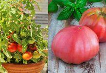 Growing Heirloom Tomatoes In Pots: 5 Best Heirloom Tomato Plants
