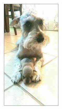 All time faves! | A community of Schnauzer lovers!