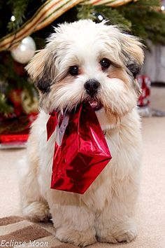 Lhasa apso puppy at Christmas. Cute lhasa apso puppy carrying a present , Love My Dog, Puppy Love, Christmas Animals, Christmas Cats, Merry Christmas, Gifs, Animals Beautiful, Cute Animals, Lhasa Apso Puppies