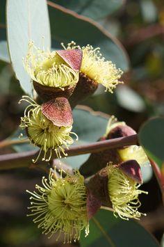 Eucalyptus flowerbuds popping their opercula. Beautiful Flowers, Australian Native Flowers, Planting Flowers, Amazing Flowers, Flowers, Australian Plants, Australian Wildflowers, Rare Flowers, Native Plants