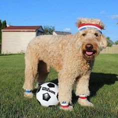 """""""I'm great at soccer because I have four paws to dribble the ball with!"""" writes … – All Pictures Funny Animal Memes, Funny Animals, Animals Dog, Goldendoodle Names, Golden Doodle Dog, Companion Dog, Dog Days, Animals Beautiful, Dog Lovers"""