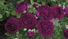 twilight zone rose waiting for mine too bloom it is this color exactly