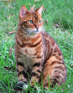 https://flic.kr/p/Jcyv6T | Just Looking | Osiris, my neighbors Bengal cat.