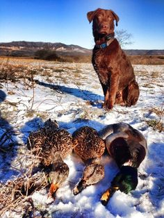 Trigger the duck dog Chocolate lab Hunting dog #CabelasCanine