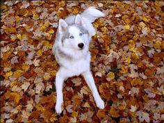 light-colored husky