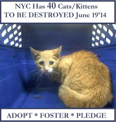 """NYC TO BE DESTROYED June 19'14 *** (40) FORTY  Beautiful CATS/KITTENS .  Please NYC area ADOPT! *  FOSTER!  ... ~ I am Sorry but due to a glitch I'm unable to include the link to """"NYC Urgent Cats"""" facebook page :("""