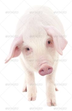 Realistic Graphic DOWNLOAD (.ai, .psd) :: http://hardcast.de/pinterest-itmid-1006918252i.html ... Pig on white ...  agriculture, animals, color, domestic, isolated, livestock, mammal, one, pig, piglet, pink, shot, small, studio, white  ... Realistic Photo Graphic Print Obejct Business Web Elements Illustration Design Templates ... DOWNLOAD :: http://hardcast.de/pinterest-itmid-1006918252i.html